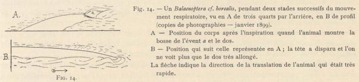 Racovitza (1903, fig. 14)