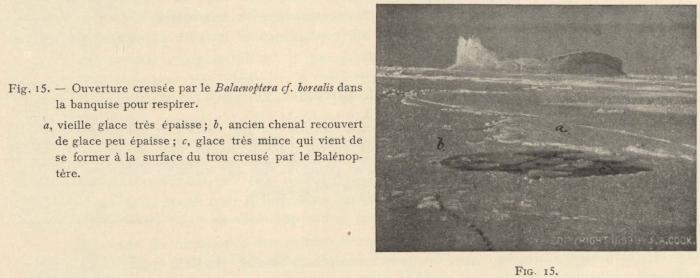 Racovitza (1903, fig. 15)