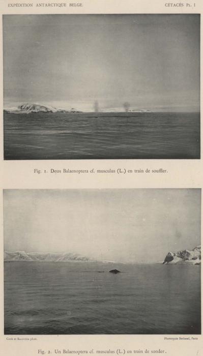 Racovitza (1903, pl. 1)