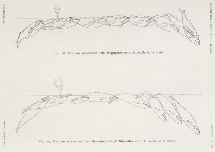 Racovitza (1903, pl. 4)