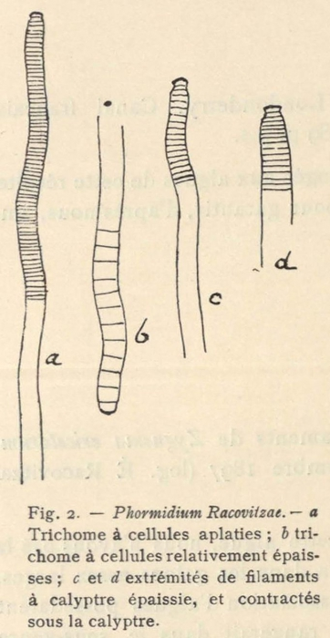 De Wildeman (1935, fig. 02)