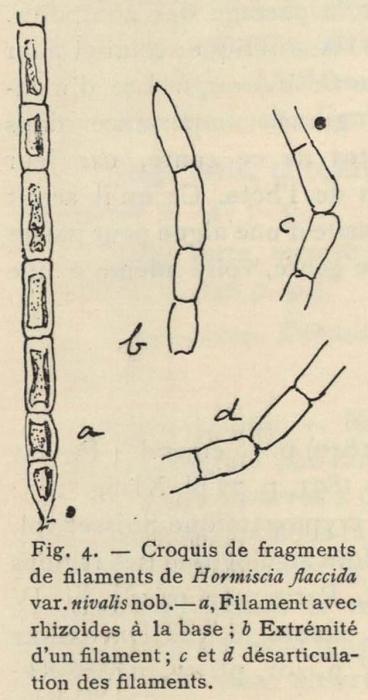 De Wildeman (1935, fig. 04)