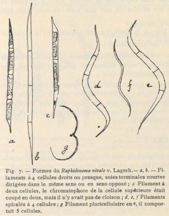 De Wildeman (1935, fig. 07)