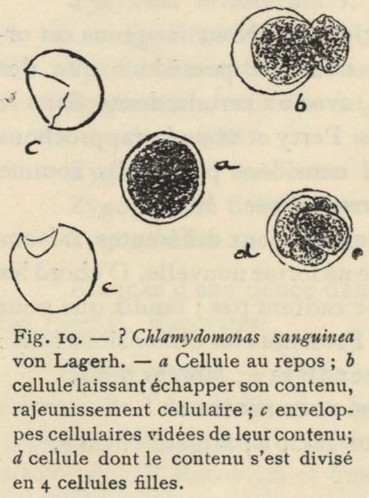 De Wildeman (1935, fig. 10)