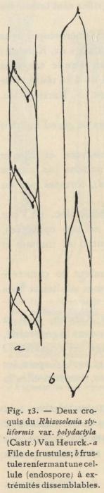 De Wildeman (1935, fig. 13)