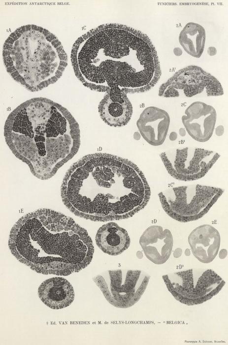 Van Beneden, de Selys Longchamps (1940, pl. 07)