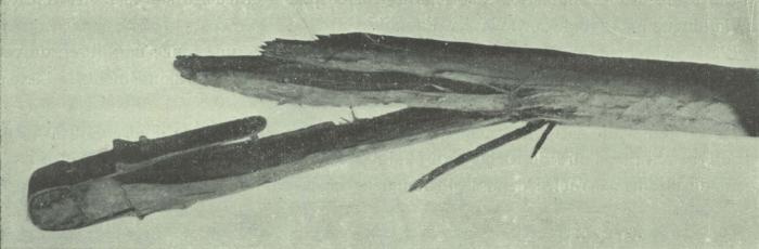Gilson (1911, fig. 25)