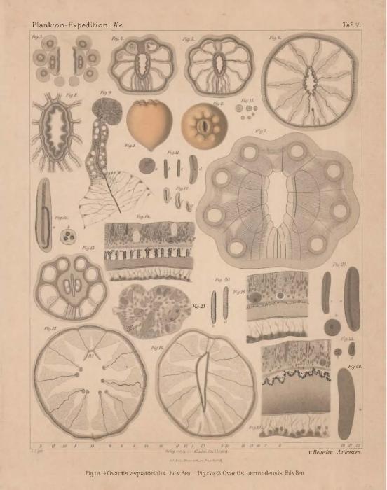 Van Beneden (1897, pl. 05)
