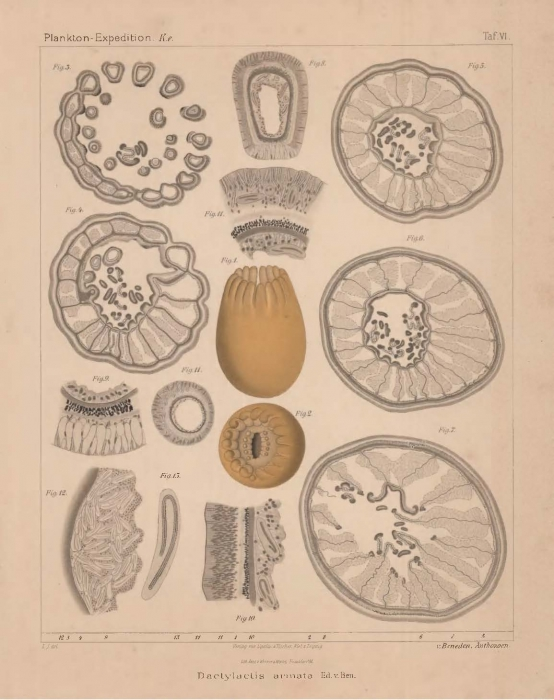 Van Beneden (1897, pl. 06)