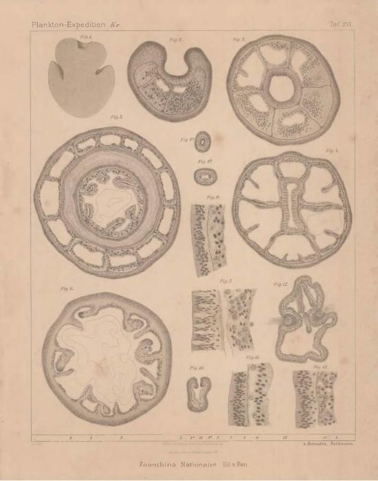Van Beneden (1897, pl. 16)