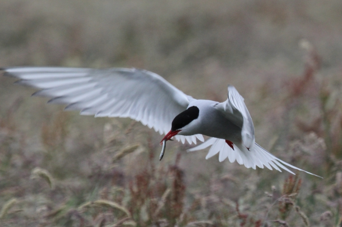 Arctic Tern (Sterna paradisaea)