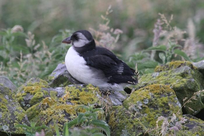 Puffin (Fratercula arctica)
