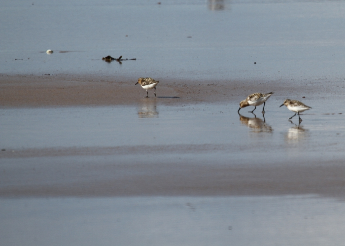 Little stint (Calidris minuta)
