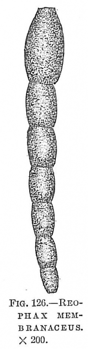 Reophax membranaceus
