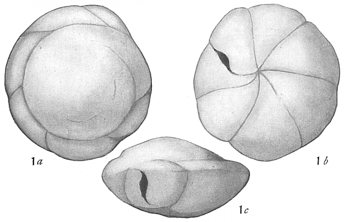 Pulvinulina karsteni