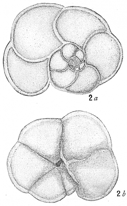 Pulvinulina menardii