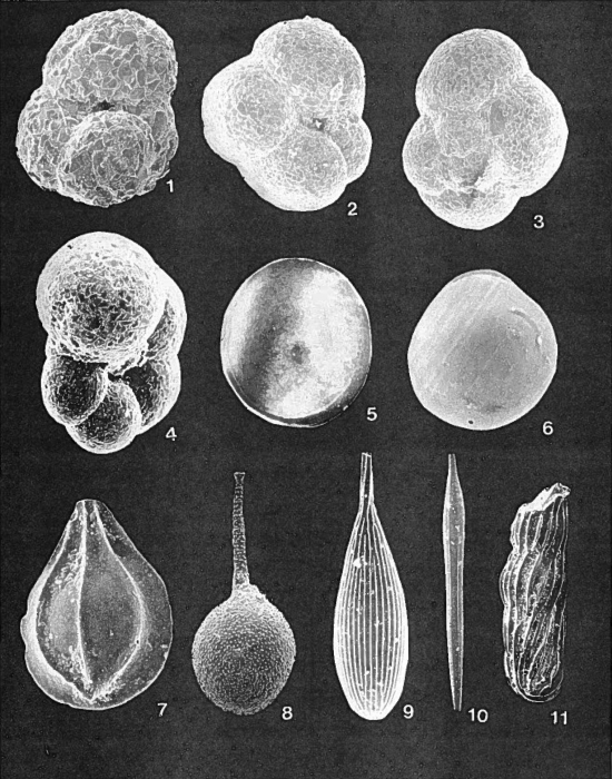 Forams -Plate 7- (Newfoundland)