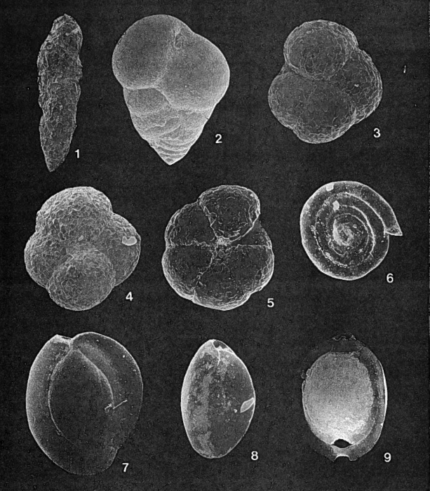 Forams -Plate 8- (Newfoundland)
