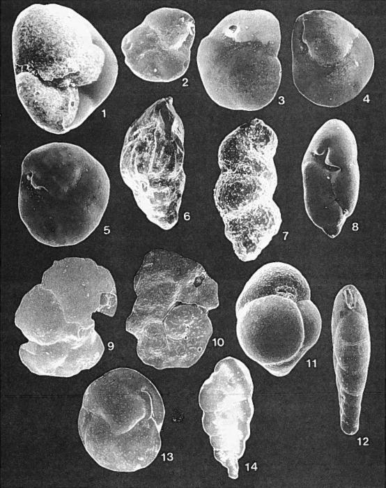 Forams -Plate 11- (Newfoundland)