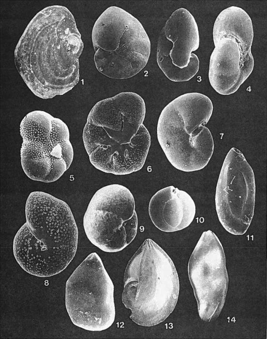 Forams -Plate 13- (Newfoundland)