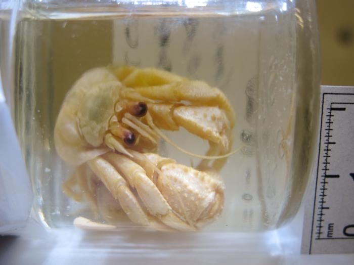 Pagurus acadianus