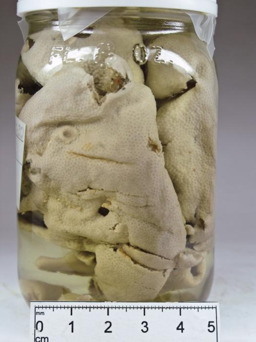Didemnum albidum