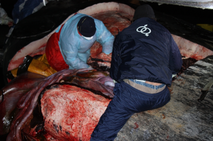 Gestrande potvis - autopsie