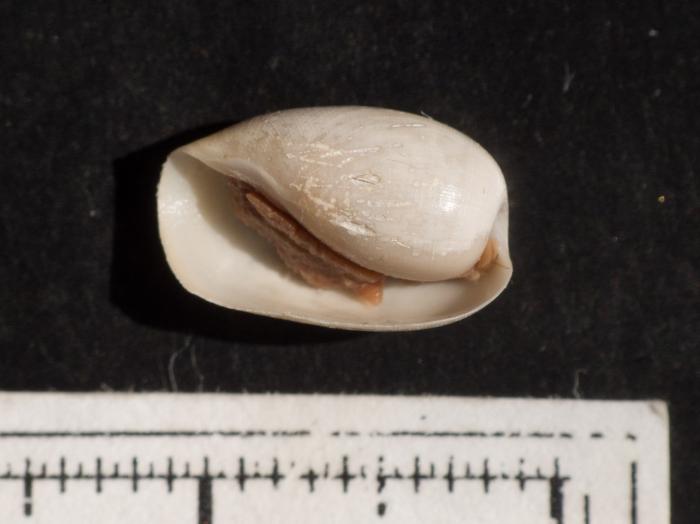 Cylichna magna