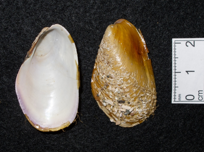 Modiolus modiolus - small