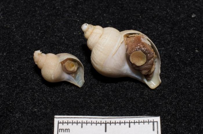Buccinum micropoma - pair
