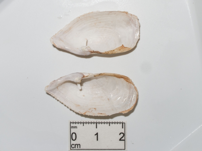 Barnea truncata - inner valves