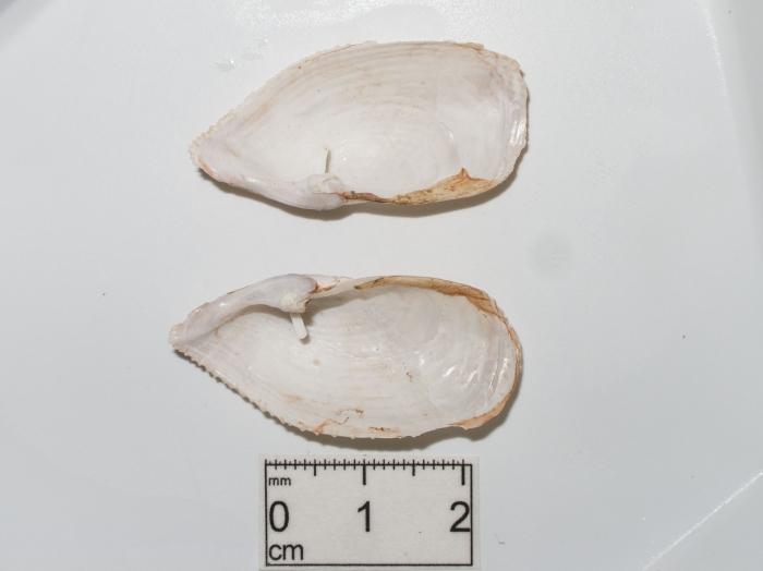 Barnea truncata - inner valves