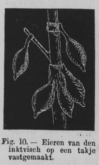 Eben (1884, figuur 10)