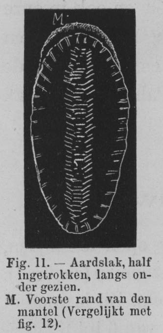 Eben (1884, figuur 11)