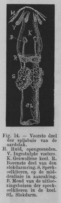Eben (1884, figuur 14)