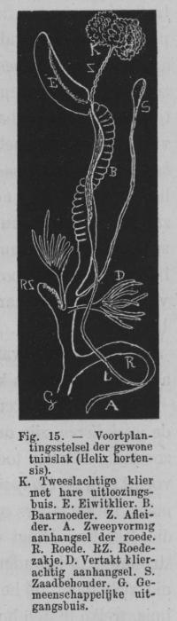 Eben (1884, figuur 15)