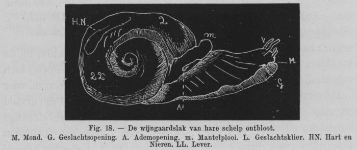 Eben (1884, figuur 18)