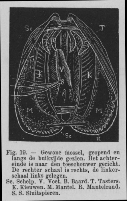 Eben (1884, figuur 19)