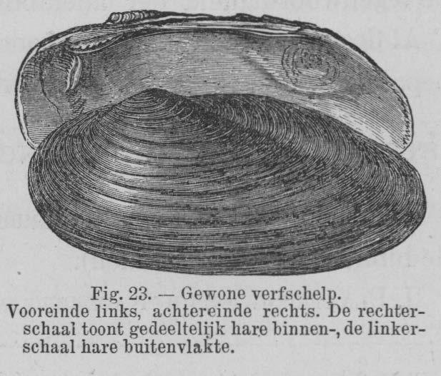 Eben (1884, figuur 23)