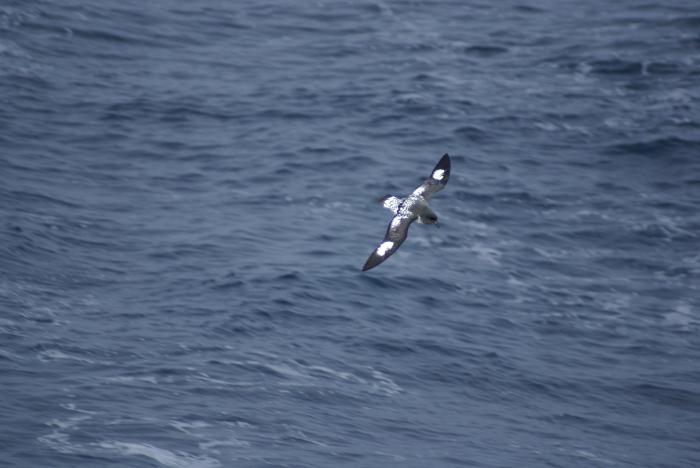 Cape Petrel in flight (back view)