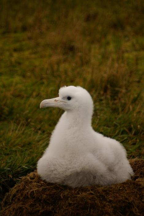 Chick of wandering albatross guarding the nest