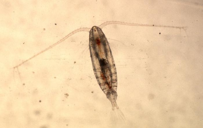 Calanus finmarchicus - female