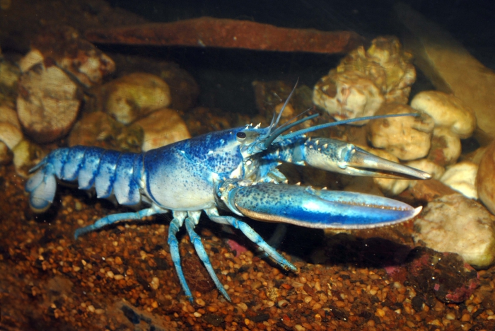 Homarus americanus - american lobster
