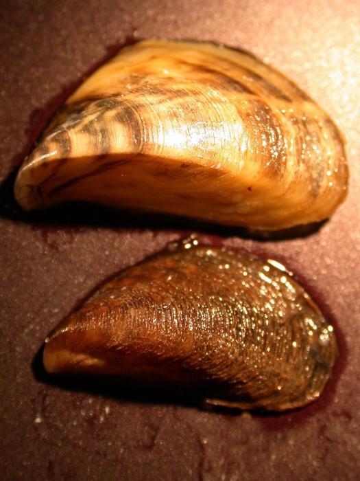 Dreissena polymorpha (boven) & Mytilopsis leucophaeata (onder)