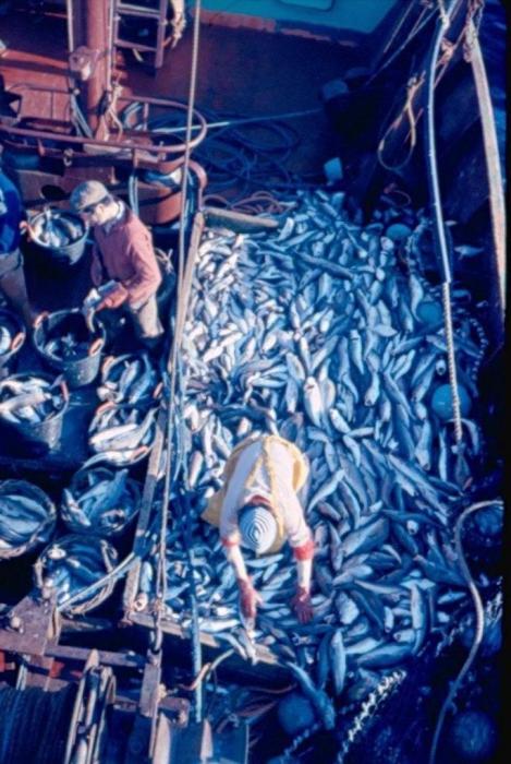Visser aan dek met grote vangst haaien