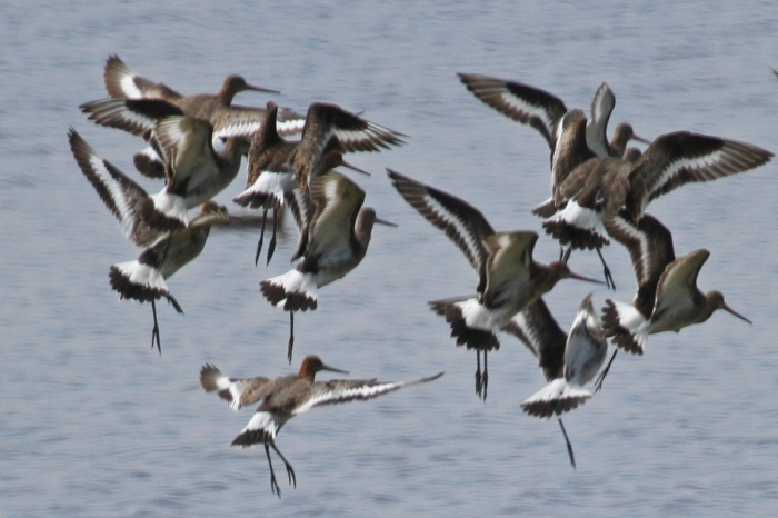 Black-tailed Godwit (Limosa limosa)