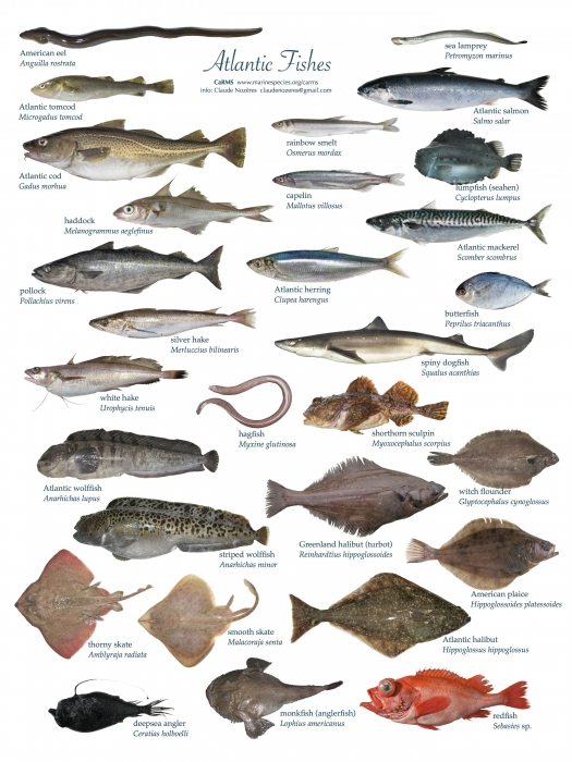The gallery for ocean fish identification for Atlantic game fish