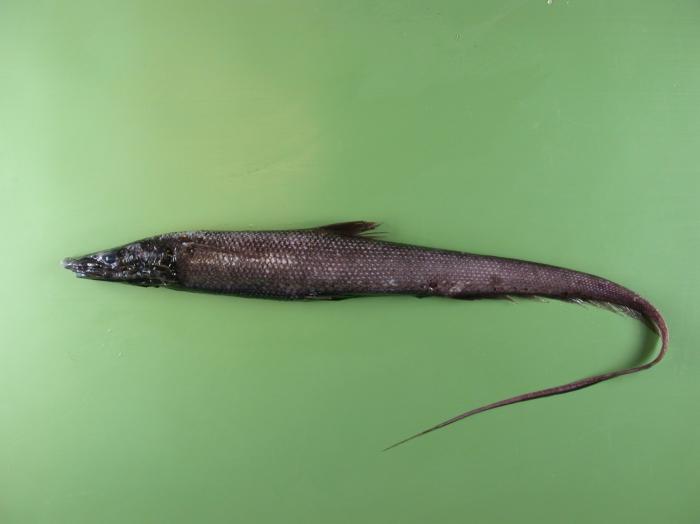Halosauropsis macrochir