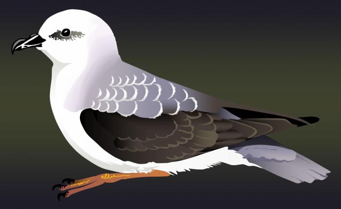 White-headed petrel