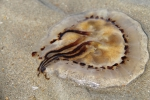 compass jellyfish - Chrysaora hysoscella